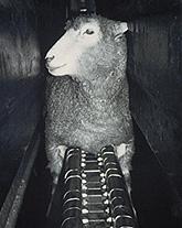 Temple Sheep.slide5-4